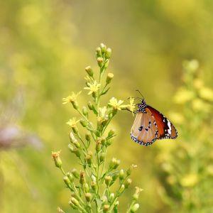 Afrikanischer Monarch