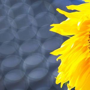Sonnenblume by Sylvia Kroll