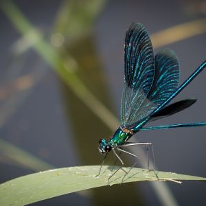 Blauflügelprachtlibelle (2)
