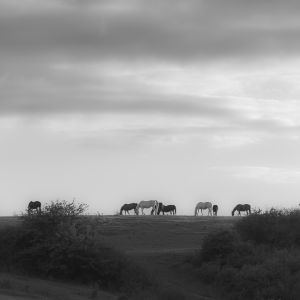 Mecklenburger Pferde