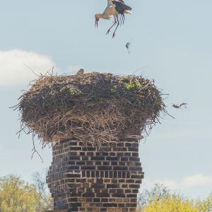 Familienleben mit Untermieter (Turmfalke)