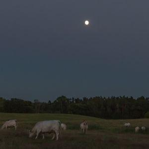 leuchtende Kühe